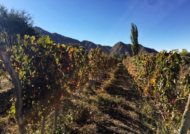 vineyards in Cafayate